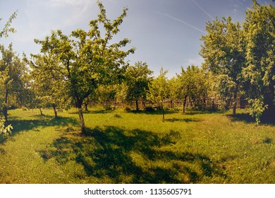 Garden with apple trees on a sunny summer day. Summer landscape with trees.