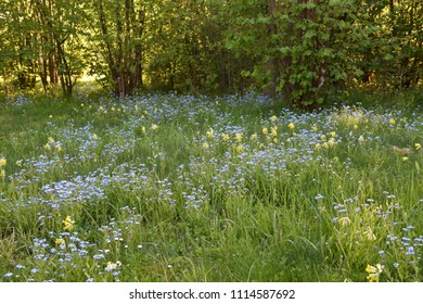 Garden with beautiful blue Forget me not flowers