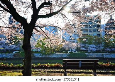 Garden bench under cherry blossom taken in silhouette, Hiroshima, Japan