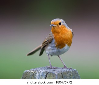 Garden bird European Robin (Erithacus rubecula) on the post, England