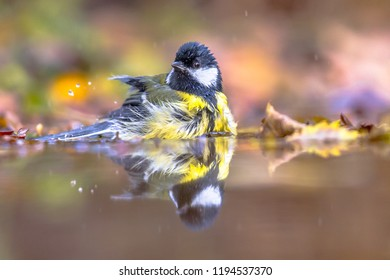 Garden bird Great tit (Parus major) bathing in water with yellow autumn leaves in warm colors