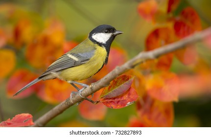 Garden bird Great tit (Parus major). sitting on a branch. autumn colors, red, yellow. natural background,