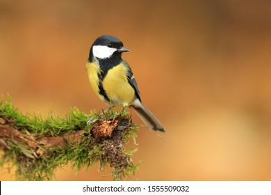 Garden bird Great tit, songbird sitting on the nice branch with beautiful autumn background. little bird in nature forest habitat, Wildlife scene from nature. Parus major
