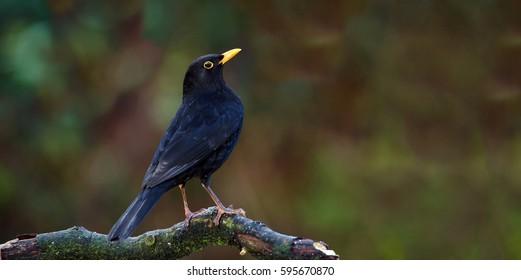 Garden Birds. Blackbird, Turdus merula sitting on tree branch.