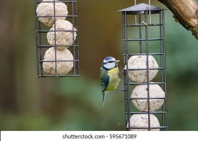 Garden Birds. Blue tit, Cyanistes caeruleus feeding on fat balls inside a bird feeder.