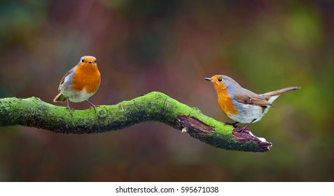 Garden Birds. Pair of Robins, Erithacus rubecula sitting on a tree branch.