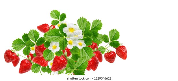 garden blooming  plant strawberry witch  red fresh berries on white