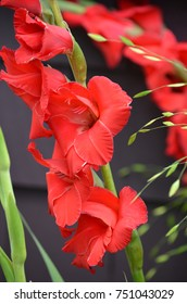 Garden with blooming red gladiolus flowers.