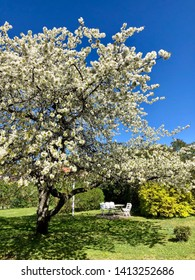 Garden with blossoming tree with white flowers and refreshing shadow, in springtime with clear blue sky.