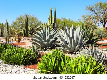 Garden of cacti, agaves and succulents near to famous archaeological site Tula de Allende, Hidalgo state, Mexico, North America