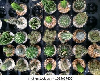 Garden of Cactus, Beautiful cactus in fresh day on pot.Select focus Cactus