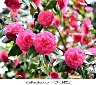 Garden of camellia flower