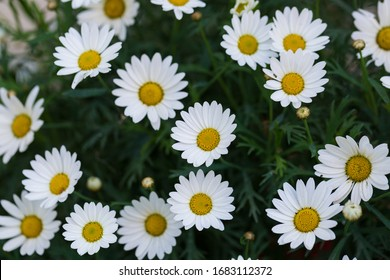 Garden camomile flowers, field with camomiles, camomile closeup, natural antiseptic