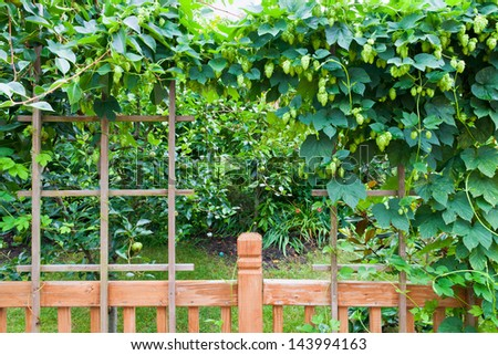 Garden with  canopy of hops plant.