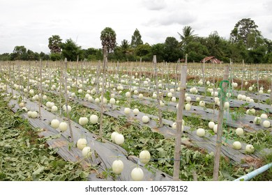 Garden cantaloupe in the northeastern part of Thailand.