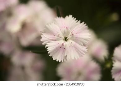 garden carnation flowers macro floral background