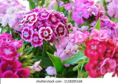 garden carnation perennial, pink and blue petals of carnation