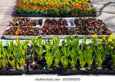 Garden center, garden store, hyacinths, begonias, narcissi, marigold in containers and pots put up for sale