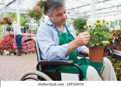 Garden center worker in wheelchair holding potted plant in greenhouse in garden center