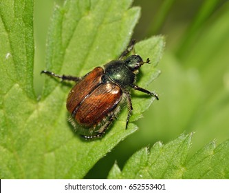 Garden Chafer Beetle - Phyllopertha horticola