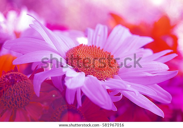 Garden chamomile in pink colors