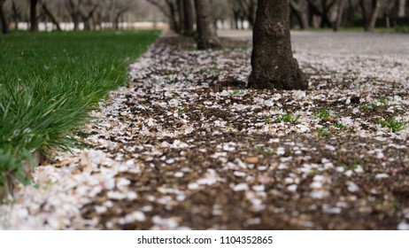 a garden of cherry trees with earth and grass filled with cherry petals on the ground