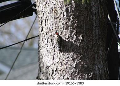 Garden City, New York, USA - January 29, 2021: Woodpecker on Tree