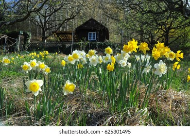 Garden close to Nature in the Vineyards of Heppenheim with Narcissi and Garden Hut at Easter, Kreis Bergstrasse, Hesse, Germany