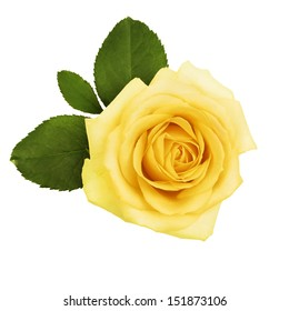 garden close-up of yellow rose with green leaves isolate
