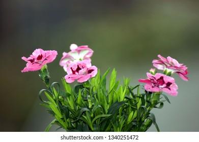 Garden Clove Dianthus caryophyllus in the Pot