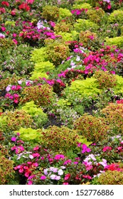 Coleus Garden Images Stock Photos Vectors Shutterstock