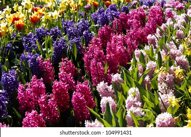 A garden of colorful fragrant hyacinths with tulips and daffodils, in the background