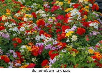 Garden of colorful lantana in tropical country, Thailand.