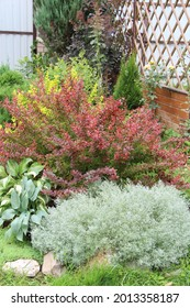 Garden composition of a silvery Schmidt wormwood(Artemisia schmidtiana), red and yellow leaf burberry bush and hosta plants.