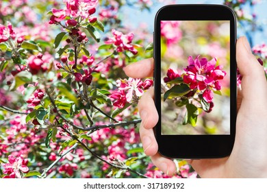 garden concept - farmer photographs picture of pink flowers on blossoming apple tree on background on smartphone