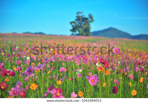 The Garden of Cosmos Flower in Spring