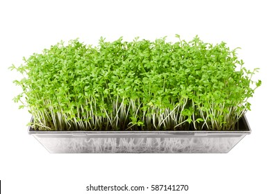 Garden cress in seed sprouter isolated over white. Young plants of Lepidium sativum, an edible herb and microgreen. Also mustard and cress, garden pepper cress, pepperwort or pepper grass. Macro photo