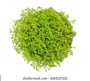 Garden cress in white bowl, from above, over white. Microgreen and edible herb. Fresh sprouts and young leaves. Also mustard and cress or pepperwort. Cotyledons of Lepidium sativum. Macro food photo.
