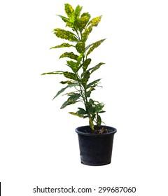 Garden Croton isolated