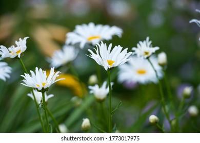 Garden daisies on a flower bed in summer. Leucanthemum. Asteraceae.