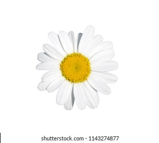 Garden daisy flower cut out on a white background