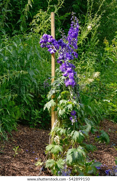 Garden delphinium with blue flowers decorative