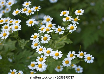 Garden display of feverfew (Tanacetum parthenium) with daisy shaped white petals and yellow stamens