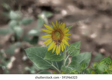 Garden of Five Senses, Delhi/ Sunflower/Sunflower
