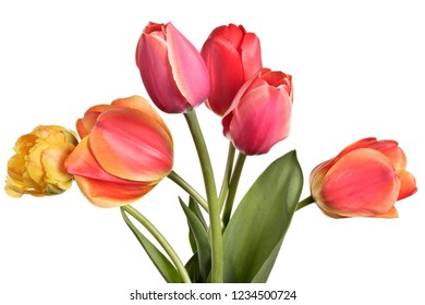 Garden Flower bouquet. Tulips isolated on a white background