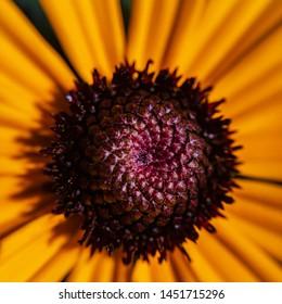 Garden flower Rudbeckia (Latin Rudbeckia) - macro.