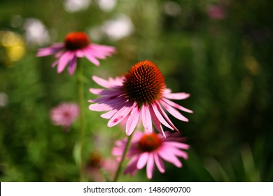 garden with flowering Echinacea. Rose petals on a blurred green background. Natural flower growing in a landscape Park