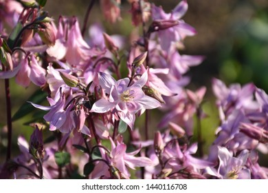Garden with flowering pink columbine flower blossoms.