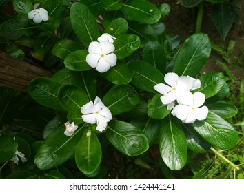 Garden flowering plant- Catharanthus roseus. Family-Apocynaceae.Common name- Madagascar periwinkle, rose periwinkle, rosy periwinkle, Cape periwinkle, old maid. It is an ornamental and medicinal plant