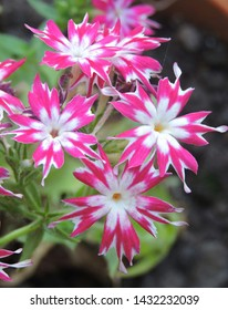 Garden flowering plant- Phlox Star Loly. Family- Polemoniaceae. Grown as ornamental plant.
